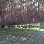 世界を魅了した夢の旅行先「あしかがフラワーパーク」の藤の花が満開!!! CNN「2014年の世界の夢の旅行先9カ所」Tochigi 20150505 160046 150x150