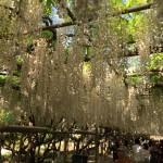 世界を魅了した夢の旅行先「あしかがフラワーパーク」の藤の花が満開!!! CNN「2014年の世界の夢の旅行先9カ所」Tochigi 20150505 162255 150x150