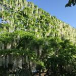 世界を魅了した夢の旅行先「あしかがフラワーパーク」の藤の花が満開!!! CNN「2014年の世界の夢の旅行先9カ所」Tochigi 20150505 162735 150x150