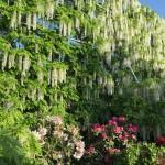 世界を魅了した夢の旅行先「あしかがフラワーパーク」の藤の花が満開!!! CNN「2014年の世界の夢の旅行先9カ所」Tochigi 20150505 162911 150x150