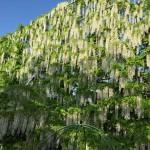 世界を魅了した夢の旅行先「あしかがフラワーパーク」の藤の花が満開!!! CNN「2014年の世界の夢の旅行先9カ所」Tochigi 20150505 163004 150x150