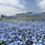 青いじゅうたん ネモフィラ満開の国営ひたち海浜公園2016Ibaraki 20160423 125017000 150x150