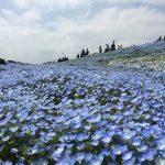 青いじゅうたん ネモフィラ満開の国営ひたち海浜公園2016Ibaraki 20160423 125025000 150x150