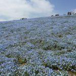 青いじゅうたん ネモフィラ満開の国営ひたち海浜公園2016Ibaraki 20160423 125244000 150x150