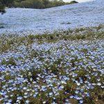 青いじゅうたん ネモフィラ満開の国営ひたち海浜公園2016Ibaraki 20160423 125425000 150x150