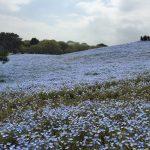青いじゅうたん ネモフィラ満開の国営ひたち海浜公園2016Ibaraki 20160423 125427000 150x150