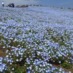 青いじゅうたん ネモフィラ満開の国営ひたち海浜公園2016Ibaraki 20160423 125456000 150x150