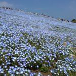 青いじゅうたん ネモフィラ満開の国営ひたち海浜公園2016Ibaraki 20160423 125500000 150x150
