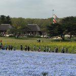 青いじゅうたん ネモフィラ満開の国営ひたち海浜公園2016Ibaraki 20160423 125643000 150x150