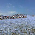 青いじゅうたん ネモフィラ満開の国営ひたち海浜公園2016Ibaraki 20160423 125706000 150x150