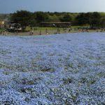 青いじゅうたん ネモフィラ満開の国営ひたち海浜公園2016Ibaraki 20160423 130214000 150x150