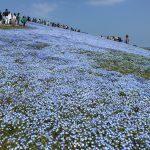 青いじゅうたん ネモフィラ満開の国営ひたち海浜公園2016Ibaraki 20160423 130615000 150x150