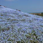 青いじゅうたん ネモフィラ満開の国営ひたち海浜公園2016Ibaraki 20160423 130628000 150x150
