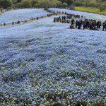 青いじゅうたん ネモフィラ満開の国営ひたち海浜公園2016Ibaraki 20160423 131015000 150x150