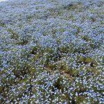 青いじゅうたん ネモフィラ満開の国営ひたち海浜公園2016Ibaraki 20160423 131343000 150x150