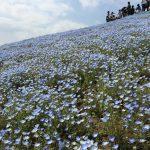 青いじゅうたん ネモフィラ満開の国営ひたち海浜公園2016Ibaraki 20160423 131354000 150x150
