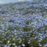 青いじゅうたん ネモフィラ満開の国営ひたち海浜公園2016Ibaraki 20160423 131415000 150x150