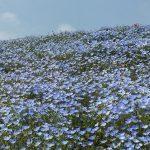 青いじゅうたん ネモフィラ満開の国営ひたち海浜公園2016Ibaraki 20160423 131416000 150x150