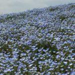 青いじゅうたん ネモフィラ満開の国営ひたち海浜公園2016Ibaraki 20160423 131419000 150x150
