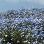 青いじゅうたん ネモフィラ満開の国営ひたち海浜公園2016Ibaraki 20160423 131424000 150x150
